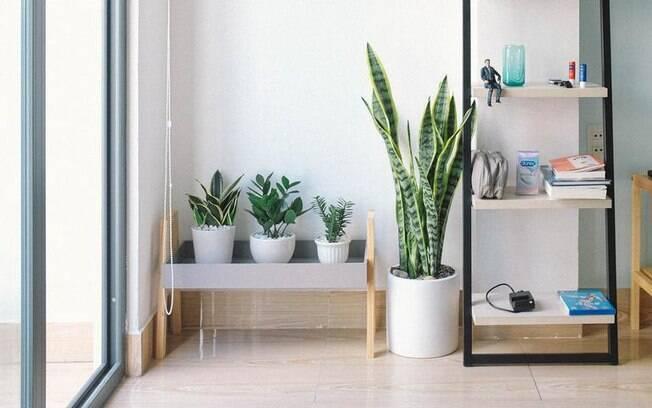 Espada de São Jorge: saiba tudo sobre essa poderosa planta