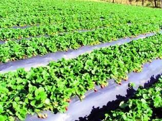 Prejuízos. Em Estiva, no Sul do Estado, área plantada da fruta diminuiu cer ca de 30% neste ano