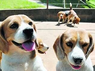 """Beagles foram """"resgatados"""" em outubro de 2013"""