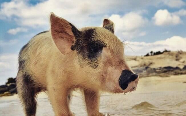 Depois da tragédia, os porcos começarão a ser mais supervisionados