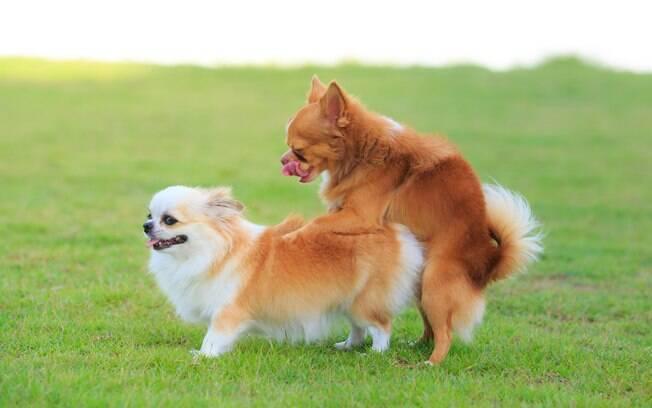A satiríase canina é caracterizada pelo excesso de apetite sexual, que nunca está satisfeito. Como consequência, o animal sofre de um acúmulo de tensão e pode desenvolver problemas mentais