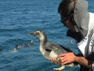 Cerca de 1.100 pinguins-de-magalhães foram encontrados mortos nos últimos três meses