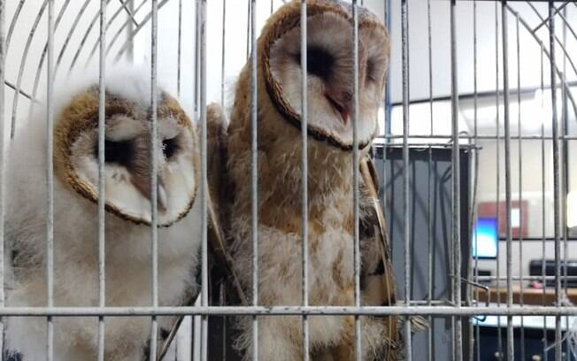 Corujas filhotes são resgatadas após serem mantidas em cativeiro em Americana