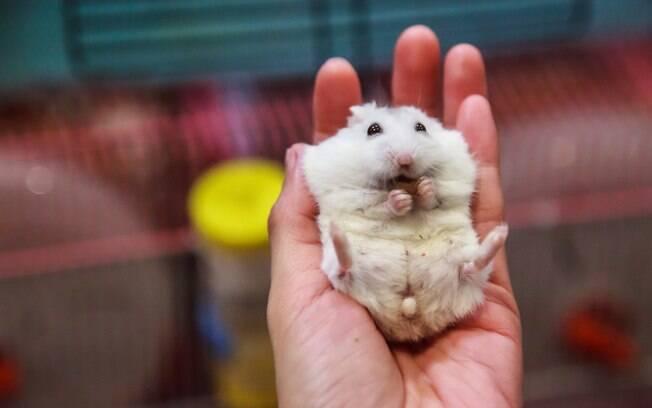 Os donos de hamster precisam se preocupar com alguns cuidados específicos