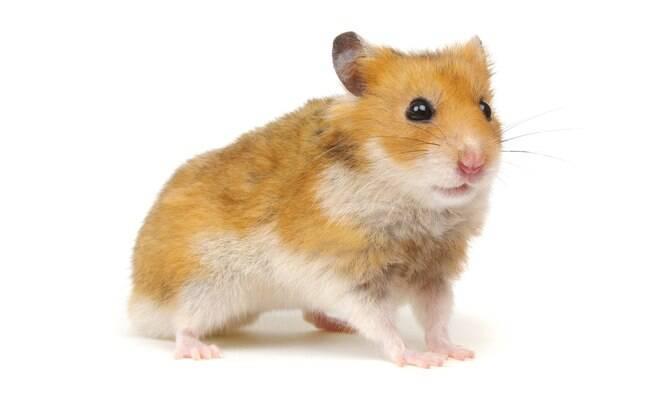 Hamster sírio