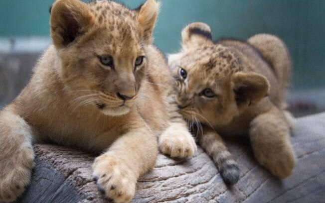 As duas pequenas leoas, nascidas no Zoológico de São Paulo em maio, terão seus nomes escolhidos online