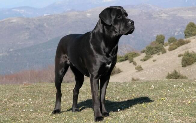 O Cane Corso é considerado um dos melhores cães de guarda existentes