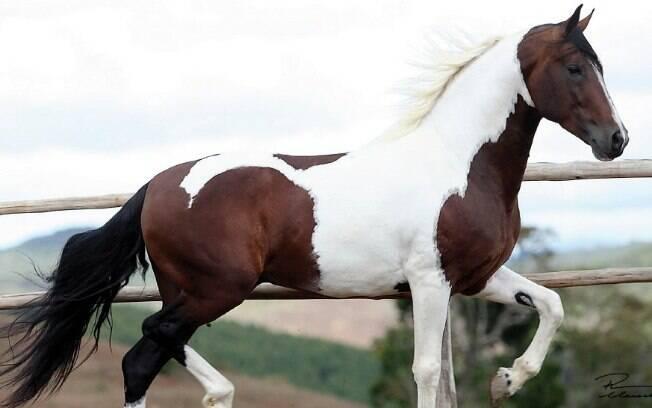 Raça de cavalo: Pampa