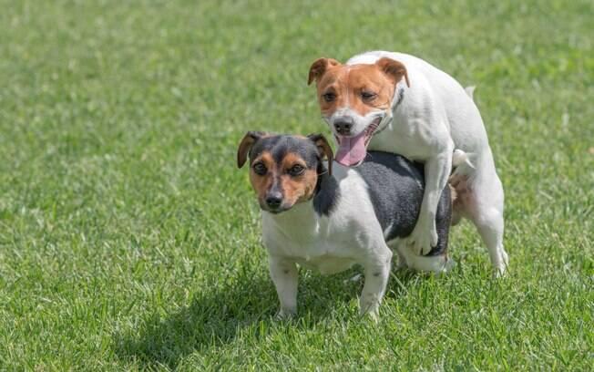 Se você tem uma cadela no cio, é muito provável que os cães machos da vizinhança tentem se aproximar dela, principalmente os virgens, pois desejam procriar a todo o custo