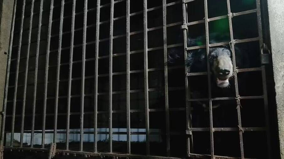 Casal de ursos foi resgatado depois de passar 17 anos presos em porão na escuridão total
