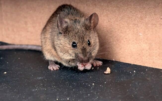 A urina do rato transmite a leptospirose, uma das zoonoses mais presentes em ambientes urbanos.