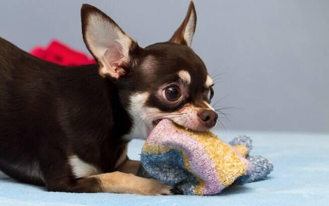 O primeiro passo é não deixar objetos impróprios ao alcance do animal. Só ofereça brinquedos desenhados especialmente para o bichinho e sem parte removíveis e pequenas