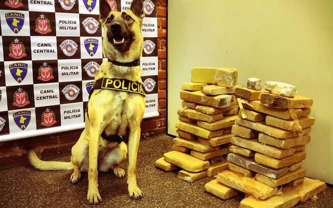 Cadela Dara com drogas apreendidas pelo Canil