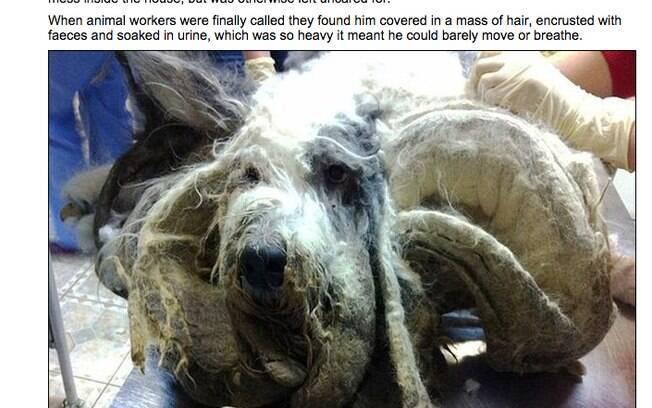 O cão da raça  Old English Sheepdog foi abandonado por um ano e, quando encontrado, mal conseguia respirar
