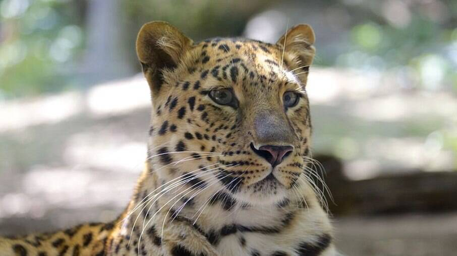 Leopardo ataca e mata menina que dormia em terraço de fazenda na Índia