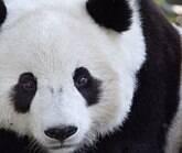 A China procura abraçadores de pandas