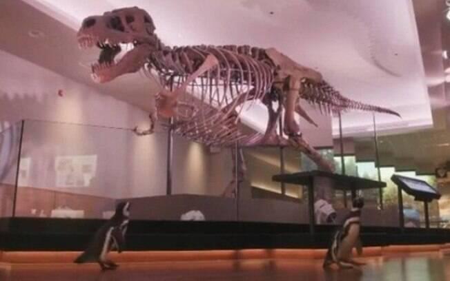 Pinguins observam dinossauro em museu de Chicago