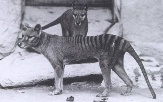 Tigre da Tasmânia foi oficialmente extinto em 1986. O último animal da espécie tilacino foi morto no  zoológico Hobart