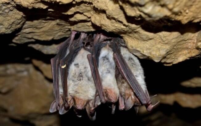 Raiva: o principal hospedeiro é o morcego, mas pode ser transmitidas por cães não são vacinados. Atinge o sistema neurológico e pode matar até 100% dos infectados