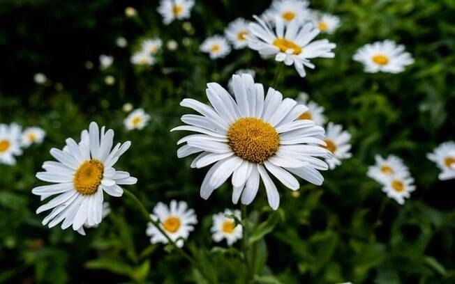 Margarida: conheça o poder da flor do amor e da juventude