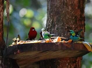 Comedouros bem bolados garantem a sinfonia dos pássaros nas pousadas de Itacaré
