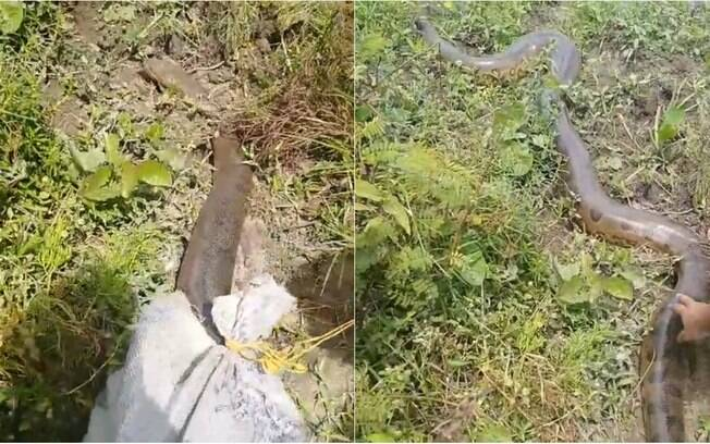 Sucuri resgatada tinha quatro metros e foi liberada de volta na natureza
