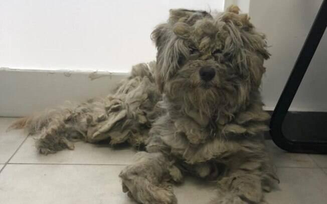 Poodle sobreviveu a um devastador incêndio em Mati, na Grécia, se escondendo dentro de uma churrasqueira