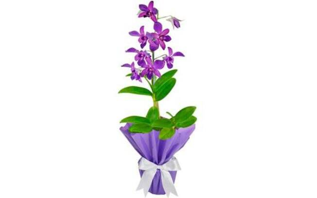 Orquídea Denphale
