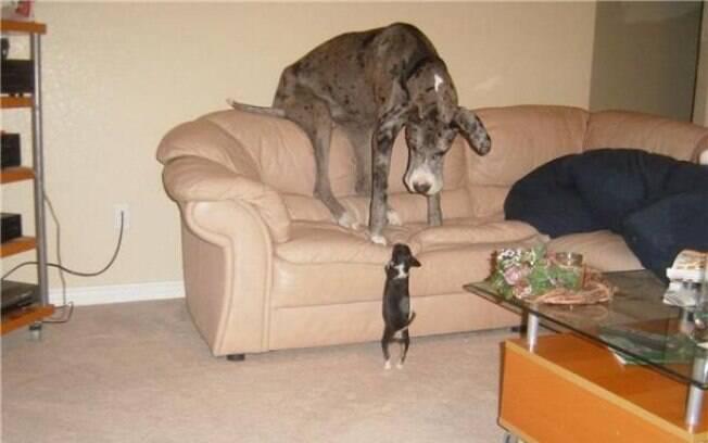 Grande e desengonçado, cães Dogue Alemão protagonizam diversas fotos hilárias
