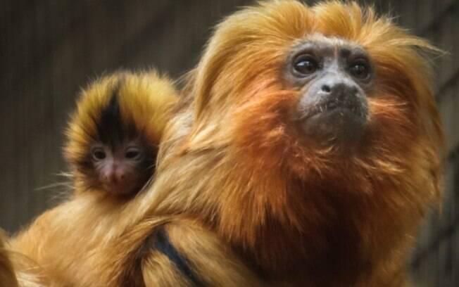 Zooparque Itatiba registra nascimento de filhotes gêmeos de mico-leão-dourado