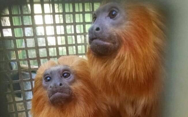Polícia Militar Ambiental localizou em Embu das Artes um cativeiro com 19 primatas da fauna silvestre
