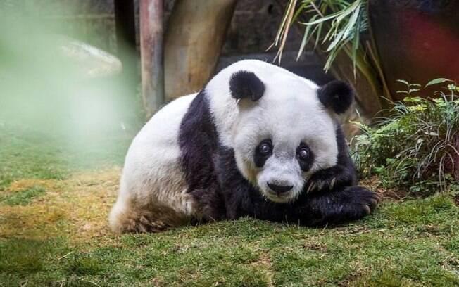 A panda mais velha do mundo morreu em zoológico da China