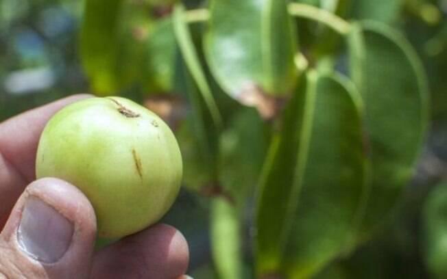 Fruta da mancenilheira tem o aroma e a aparência de uma maçã inglesa, mas é pequena