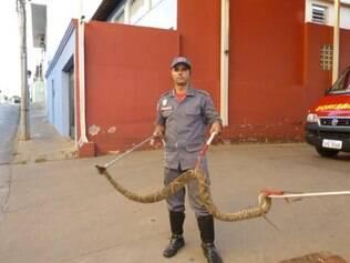 A cobra, de aproximadamente 1 metro e meio de comprimento, foi levada para o IBAMA