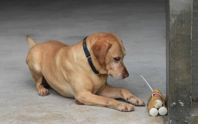 Labrador Marley localiza os explosivos. Note que, ao achar os artefatos, o cão deita ao lado sem tocar para evitar uma denotação involuntária