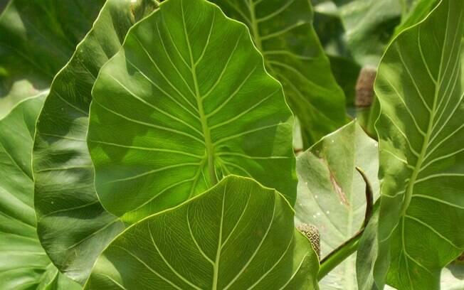 A aninga é uma planta encontrada nas áreas alagadas da Amazônia e pode ser útil no combate ao Aedes aegypti