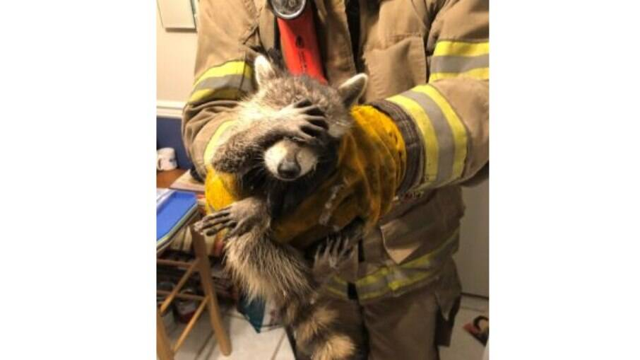 Guaxinim invadiu casa em Dalton, nos Estados Unidos e foi resgatado por bombeiros