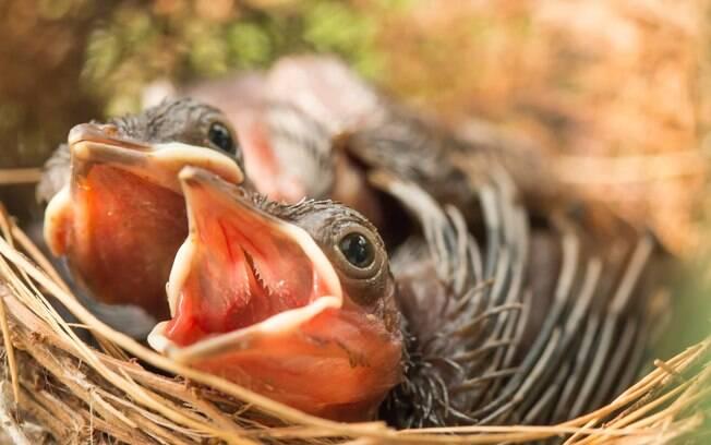 Para crescerem saudáveis, os filhotes de canário precisam se alimentar com uma mistura específica