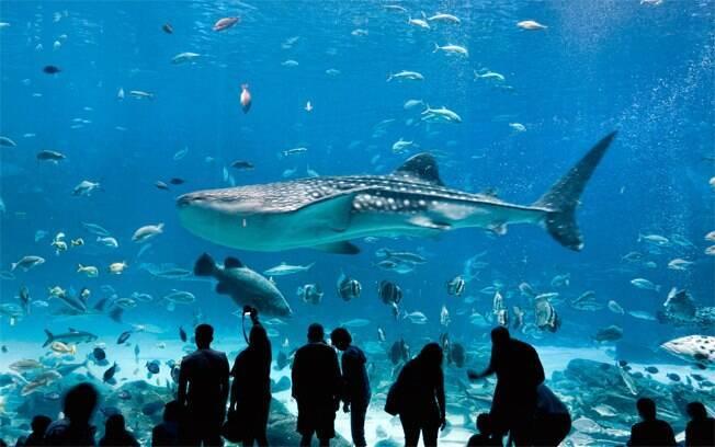 O visitante mais corajoso pode mergulhar no tanque com tubarões-baleia