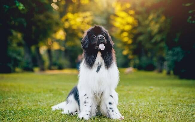 Terra Nova é um cão de grande porte muito amigável