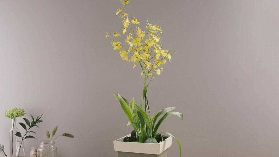 Orquídea Amarela Chuva de Ouro em Vaso