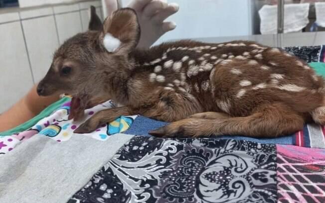 Filhote de cervo é resgatado após ser atropelado em Artur Nogueira