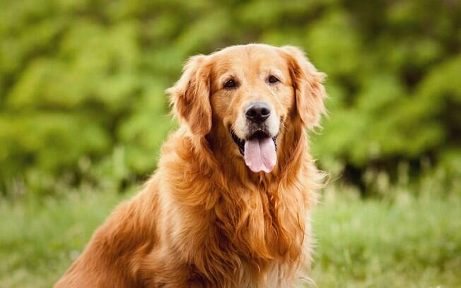 Todos são excelente farejadores, mas algumas raças de cães se sobressaem nessa característica