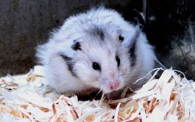 Com cuidados e boa alimentação dificilmente o hamster ficará doente