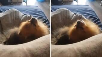 Lulu da pomerânia faz a melhor imitação de macaco quando uiva