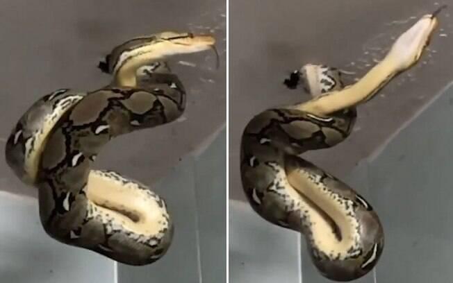 A cobra apareceu no teto de um restaurante