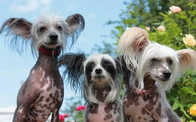 O cão de crista chinês faz parte das raças do Grupo Toy