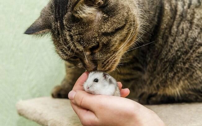 É bem difícil fazer um gato e um hamster convierem juntos, mas com paciência e algumas dicas é possível