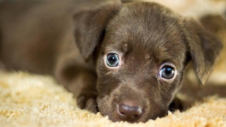 Um cachorro animado ou com medo pode apresentar os sintomas, o tutor deve associar os demais sinais para identificar o que o pet está sentindo