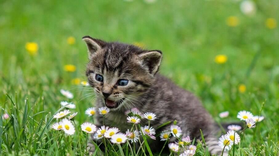Nem todos os gatos reagem da mesma forma e podem deixar de sentir os efeitos se expostos em excesso